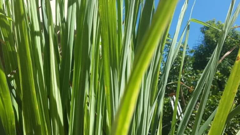 Lemon/citronella grass. Cymbopogon citratus. Photo by alondav on Pixabay. Image used in Healing Through Cooking.